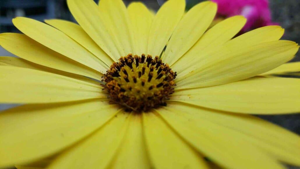 Makro von gelber Blume, LG G4, komprimiert